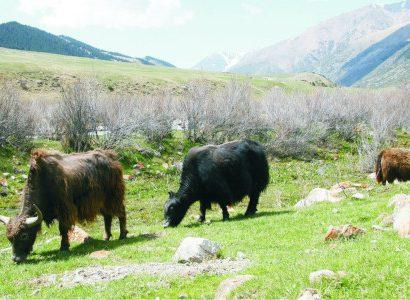 יאקים בקירגיזסטן