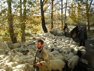 עדר כבשים בגאורגיה