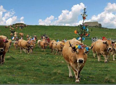 פרות מקושטות בצרפת