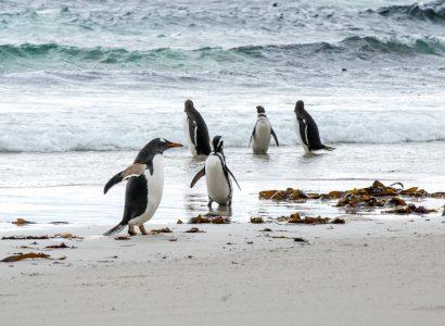 פינגווינים בפטגוניה