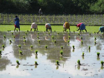 שדה אורז בהודו